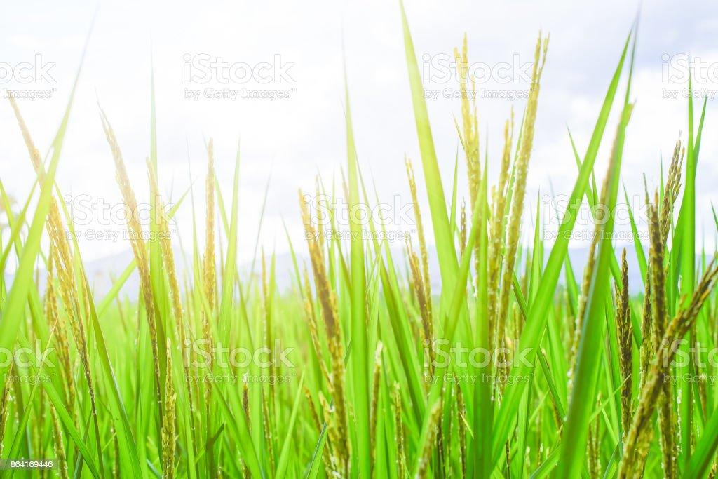 rice leaf on nature background. royalty-free stock photo