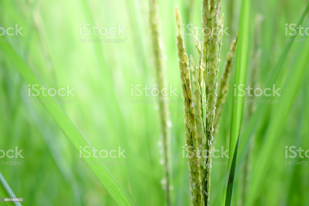 rice leaf on nature background. royalty-free stock photo