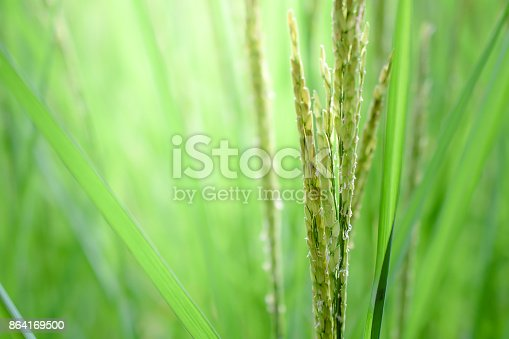 Rice Leaf On Nature Background Stock Photo & More Pictures of Abstract