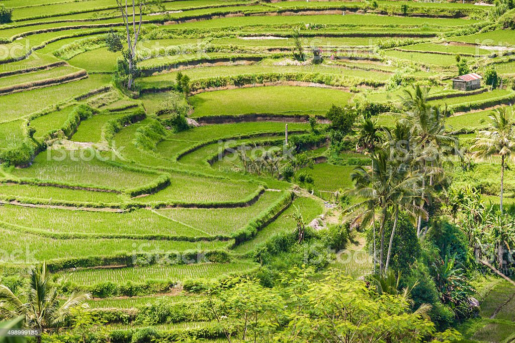Rice Paddies on Bali, Indonesia royalty-free stock photo