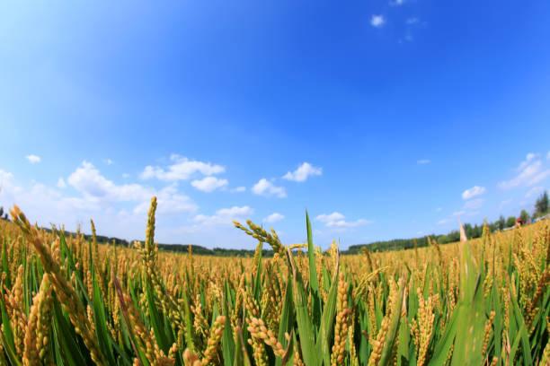 Rice paddies stock photo