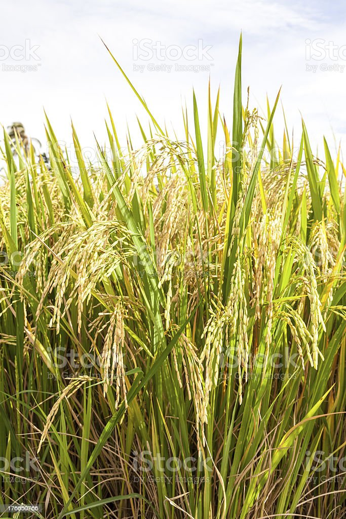 Rice paddy field close up royalty-free stock photo