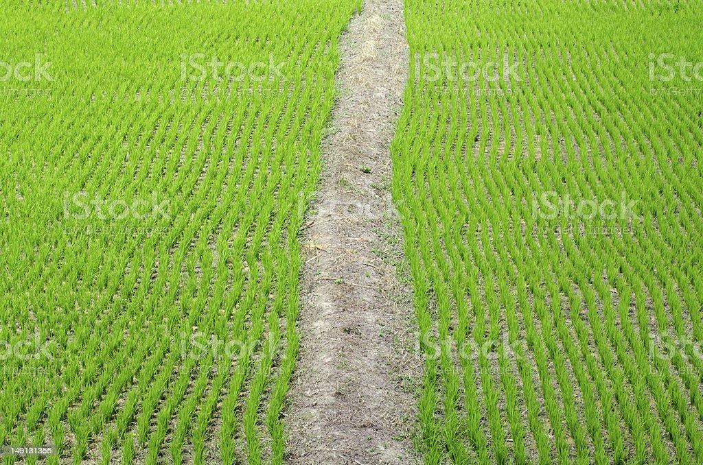 Rice paddy field royalty-free stock photo