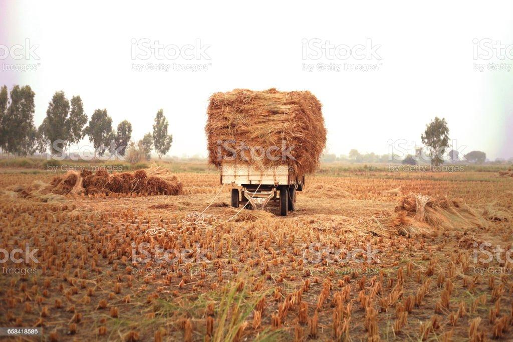 Rice paddy field ! stock photo