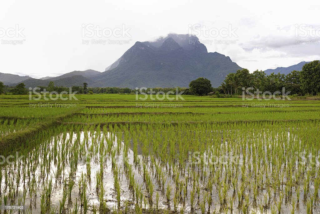 Rice paddy fields. royalty-free stock photo