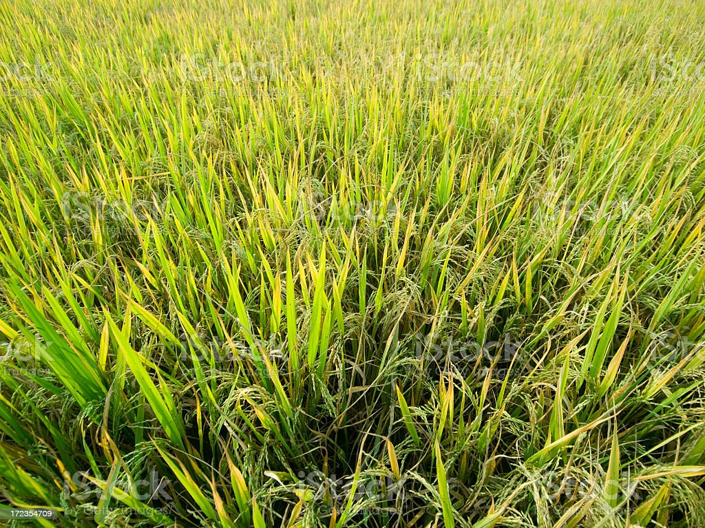 Rice Paddy From Above royalty-free stock photo