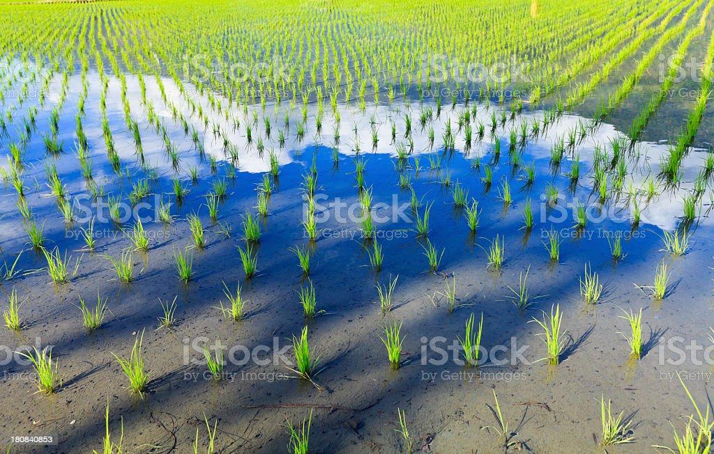Rice Paddy Growth royalty-free stock photo