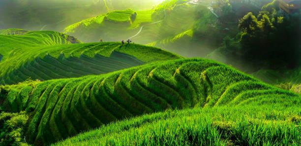 rijstveld in contourploegen - sawa stockfoto's en -beelden