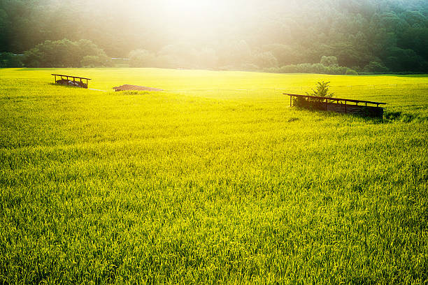 rice paddy in summer - satoyama scenery stock photos and pictures