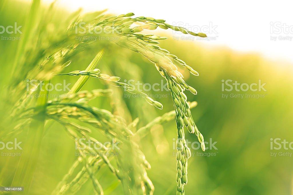 rice paddy in sunlight stock photo