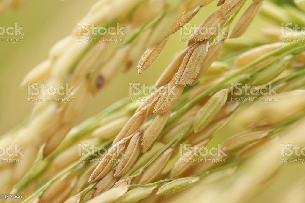 Rice paddy stock photo