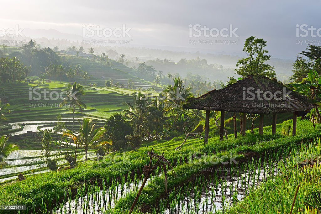 Rice paddy Rice paddy at sunrise, Bali, Indonesia Agricultural Field Stock Photo