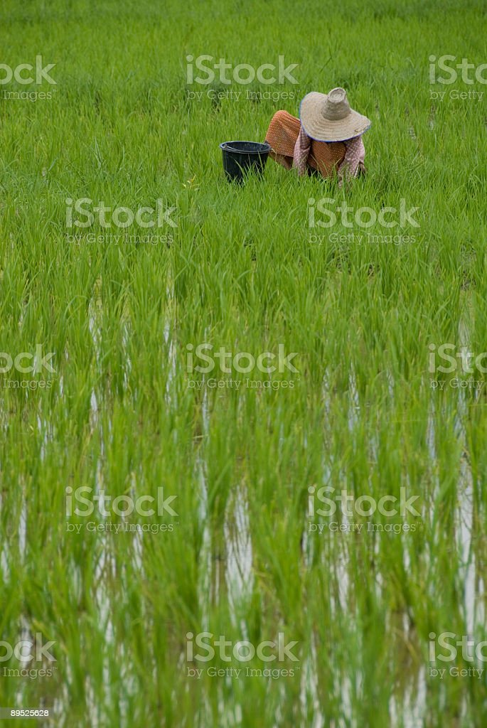 Rice Paddy Worker royalty-free stock photo