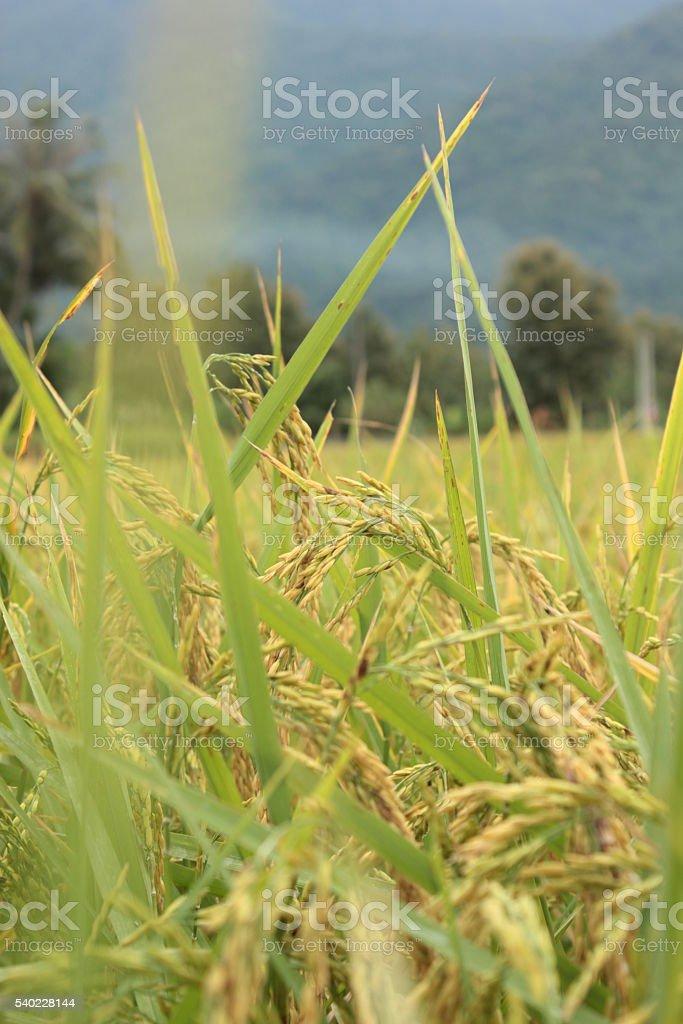 Rice panicles stock photo