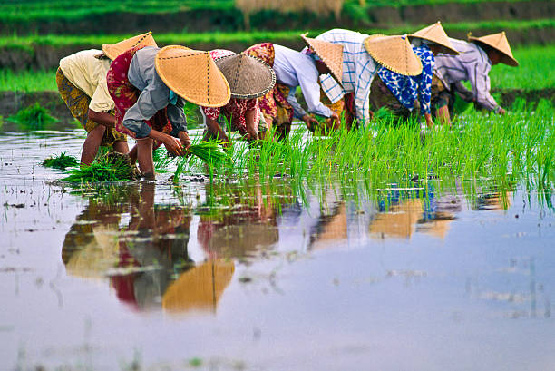 rice - indonesia stock photos and pictures