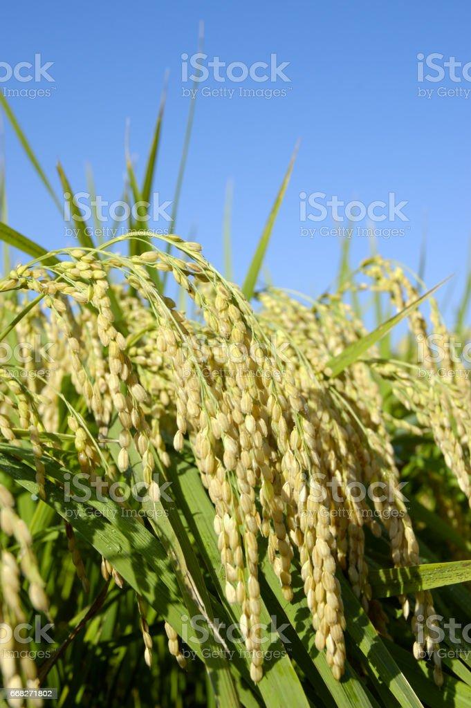 Rice foto stock royalty-free