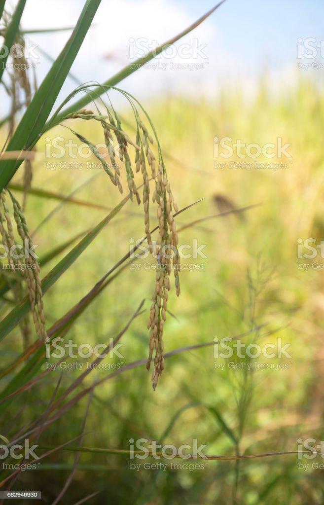 rice foto de stock libre de derechos