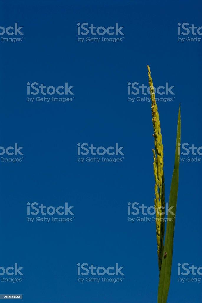 Ryż zbiór zdjęć royalty-free