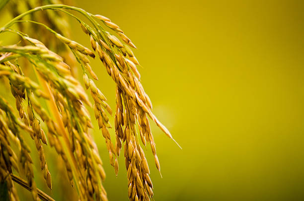 Rice Plant Close-up  rice paddy stock pictures, royalty-free photos & images