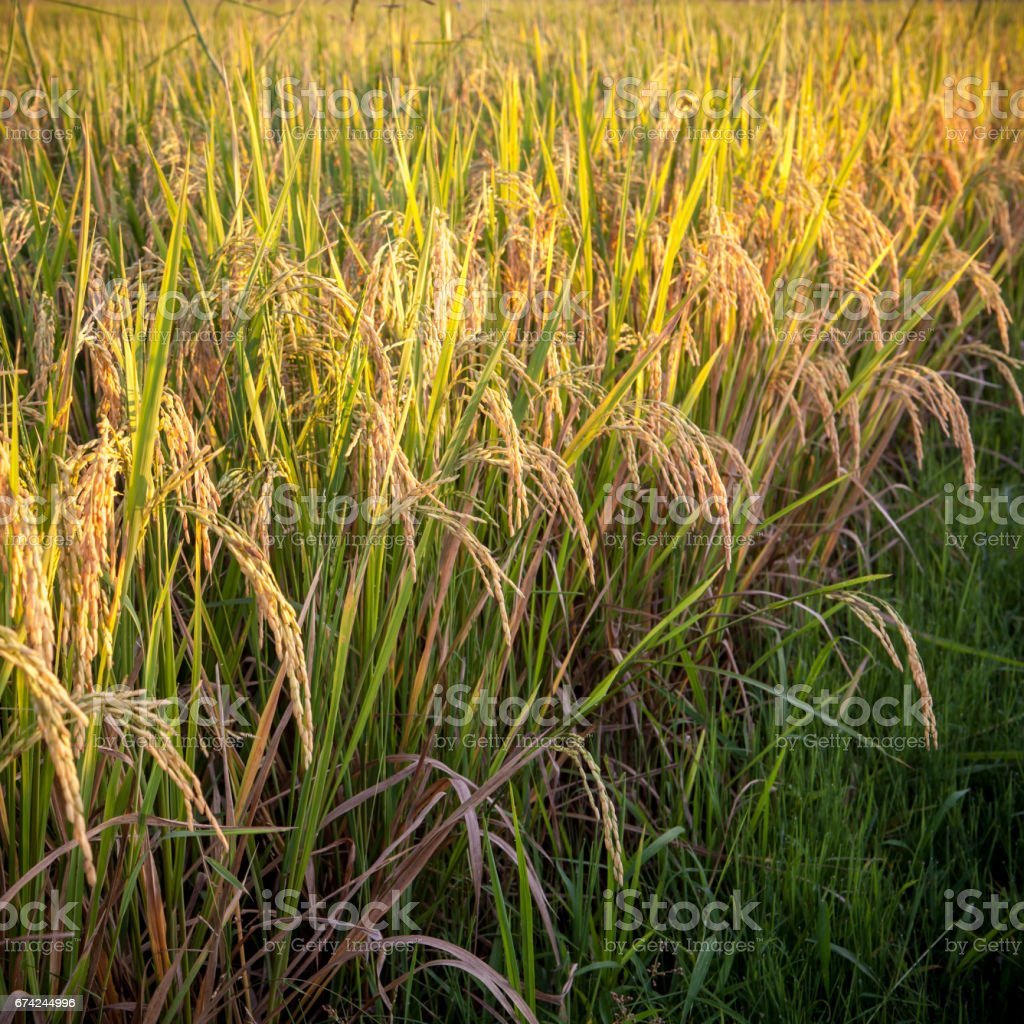 Rice plant growing on aa outdoor field. Rape rice plant stems hanging down beautifully. Close up of a green rice plant harvest. stock photo