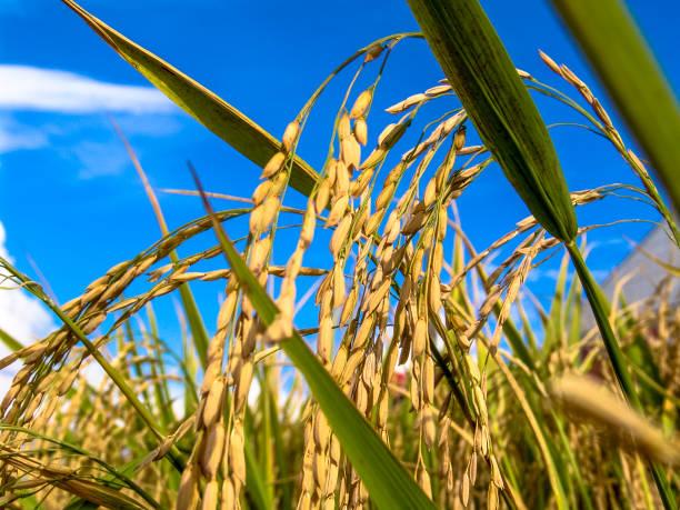 Rice plant in field on farm in Rio Grande do Sul stock photo