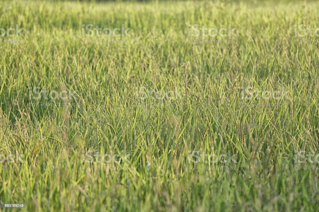 Rice plant near harvest time and evening sunlight,Agricultural lands in Thailand. Lizenzfreies stock-foto
