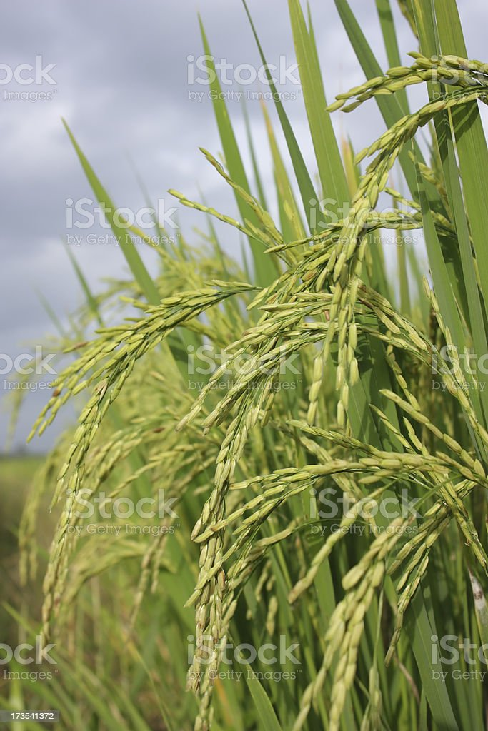 Rice plant royalty-free stock photo