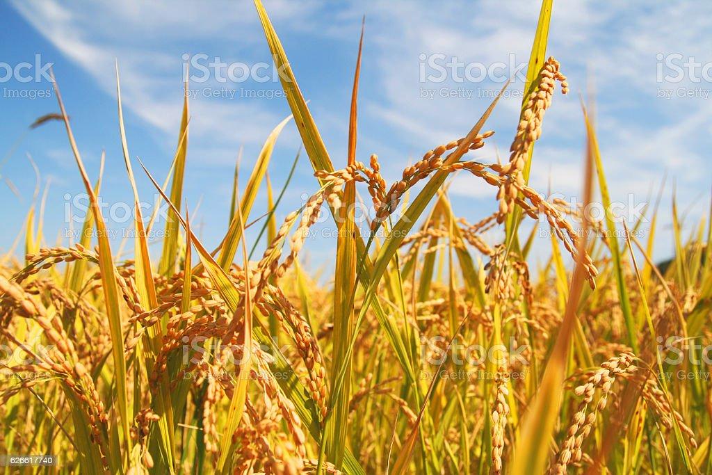 rice plant stock photo