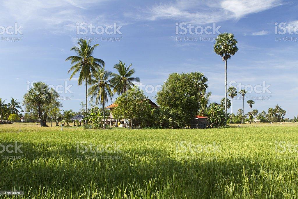 Rice plantation in Cambodia royalty-free stock photo