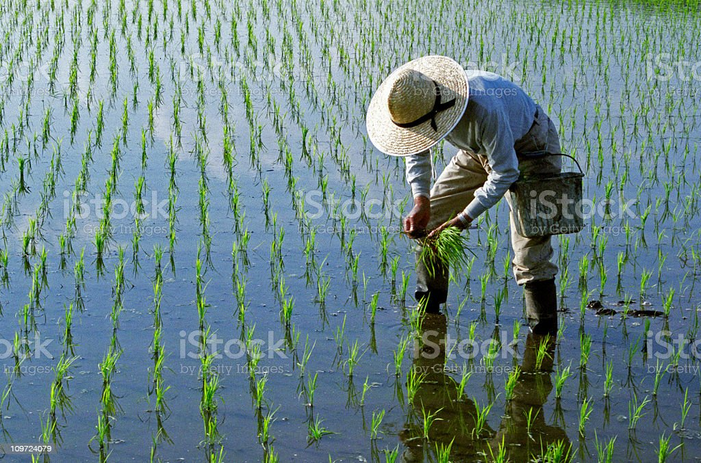 Rice Planting stock photo