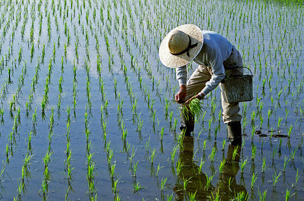 Rice Planting  rice paddy stock pictures, royalty-free photos & images