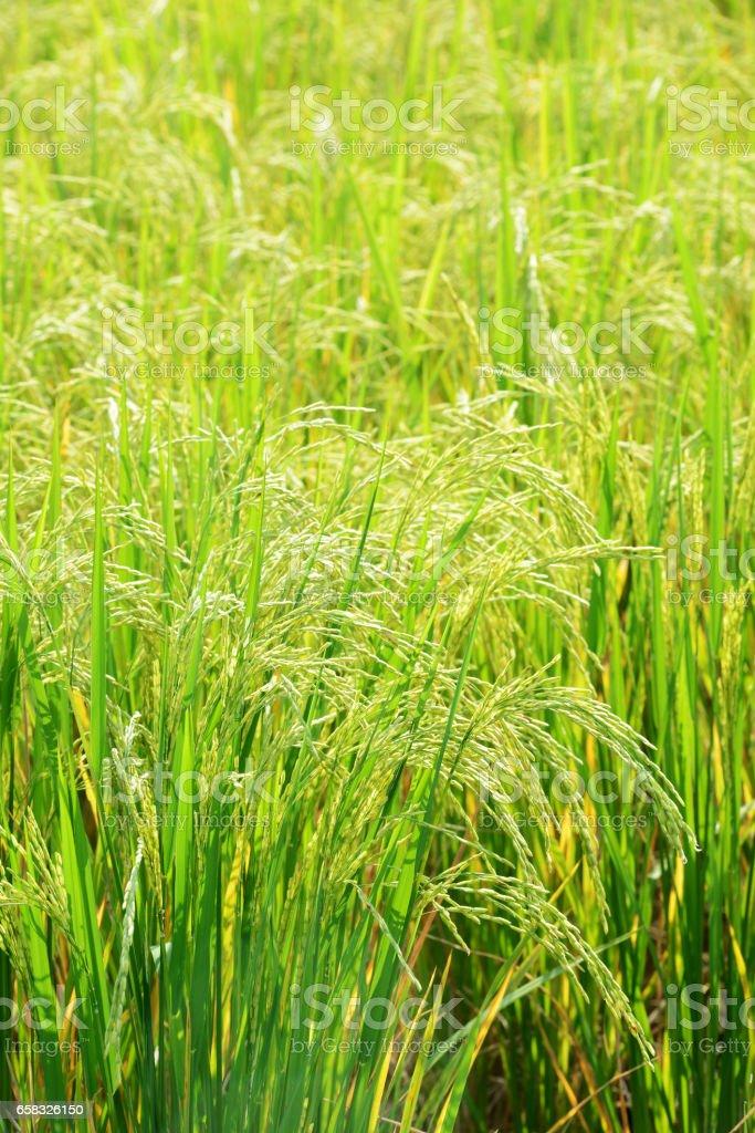 Rice plants in paddy field – Foto