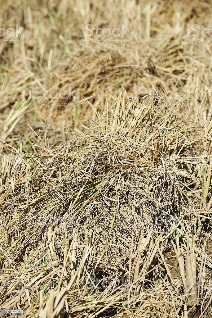 Rice Plants royalty-free stock photo