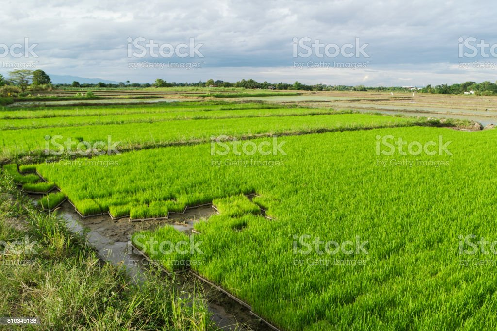 Rice plots for sale. stock photo