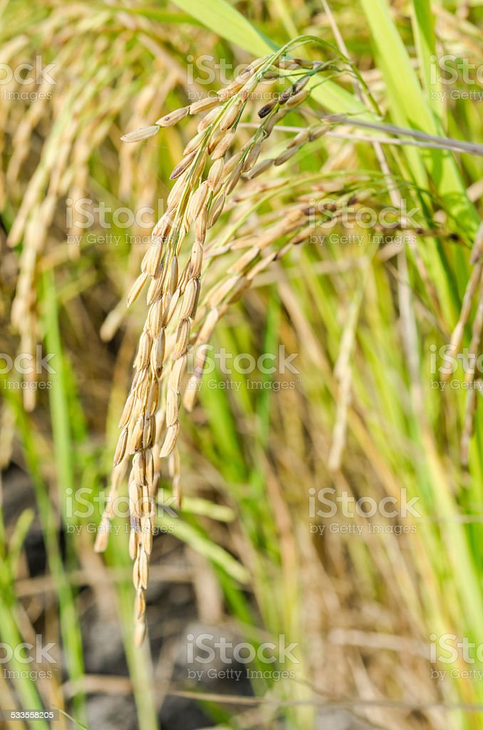 Rice ready to harvest stock photo