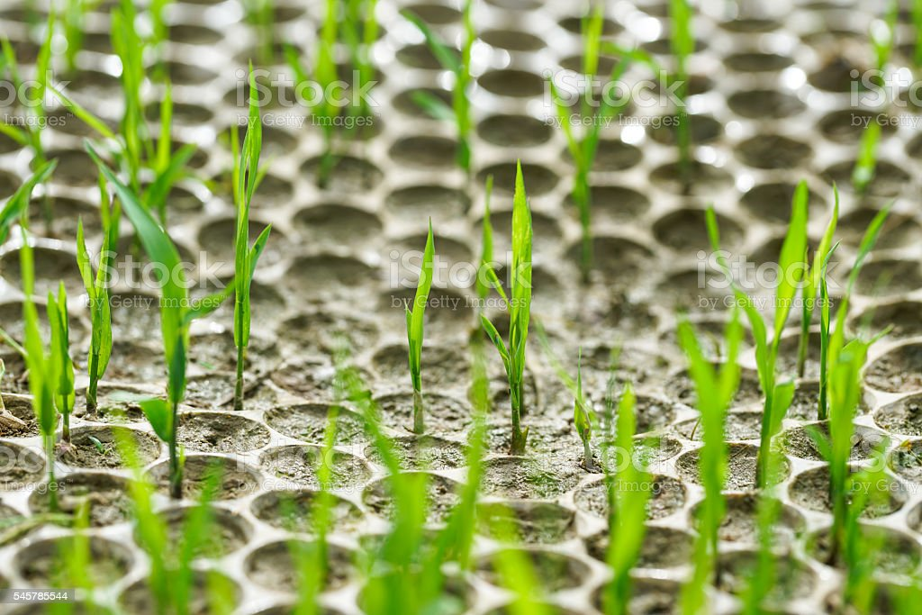 rice sapling in the cultured plate stock photo