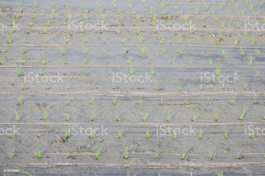 rice sapling in the field. stock photo