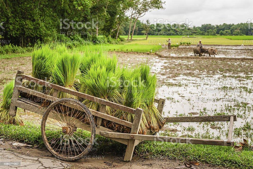 Rice saplings bundled for planting, Jorhat, Assam, India. stock photo