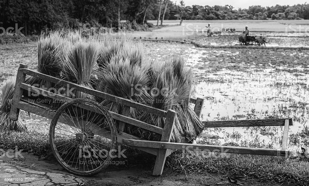 Rice saplings in readiness for planting, Assam, India. stock photo