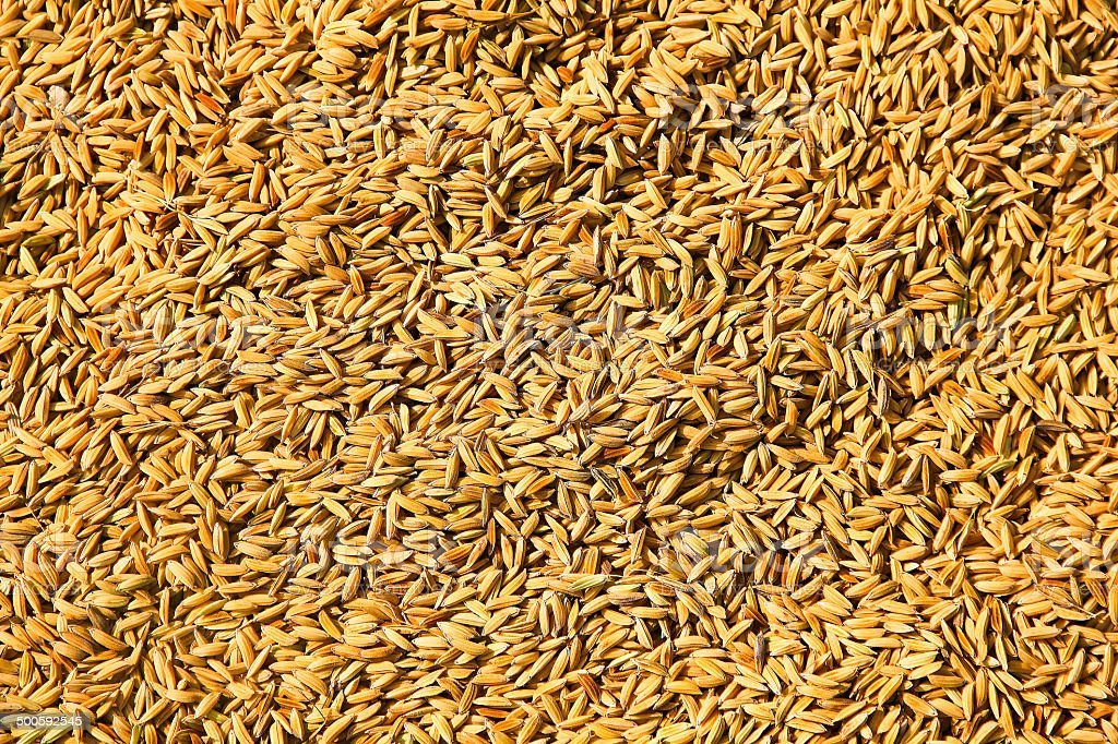 rice seed close-up stock photo