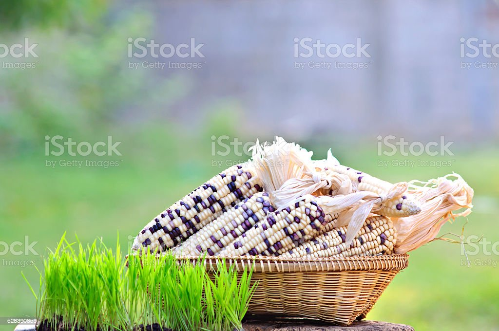 rice seedlings and Waxy Corn in Basket weave stock photo