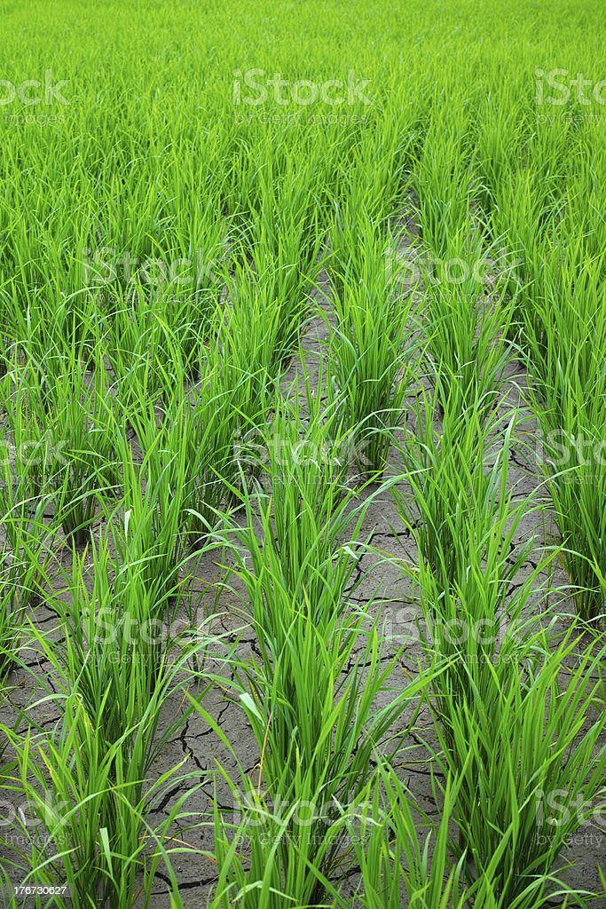 Rice seedlings, in a paddy field. royalty-free stock photo