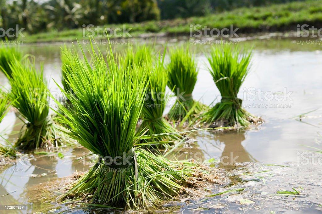 Rice Seedlings royalty-free stock photo