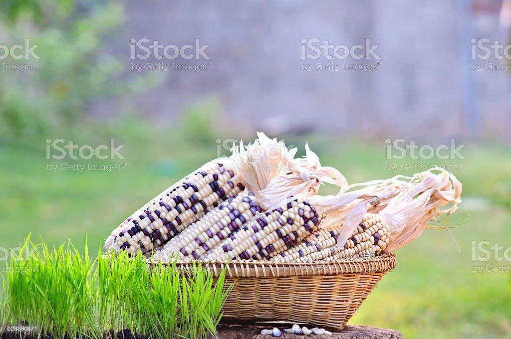 rice seedlings, pod and seed Waxy Corn stock photo