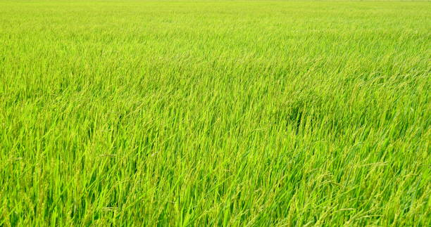 Rice spike in rice field stock photo