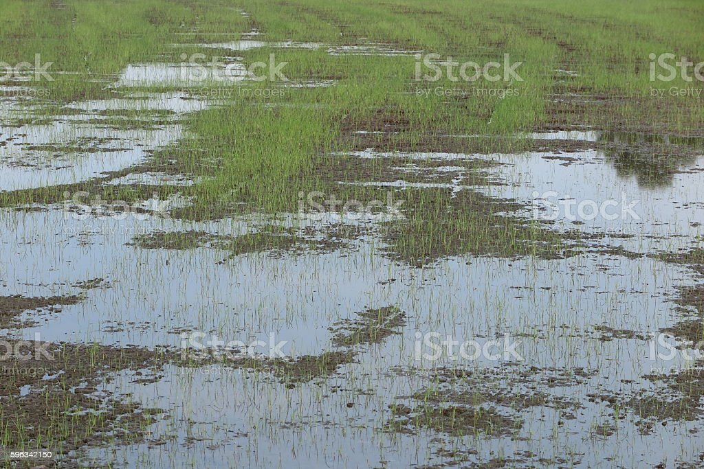 rice sprouts, grow, seeding in rice field royalty-free stock photo