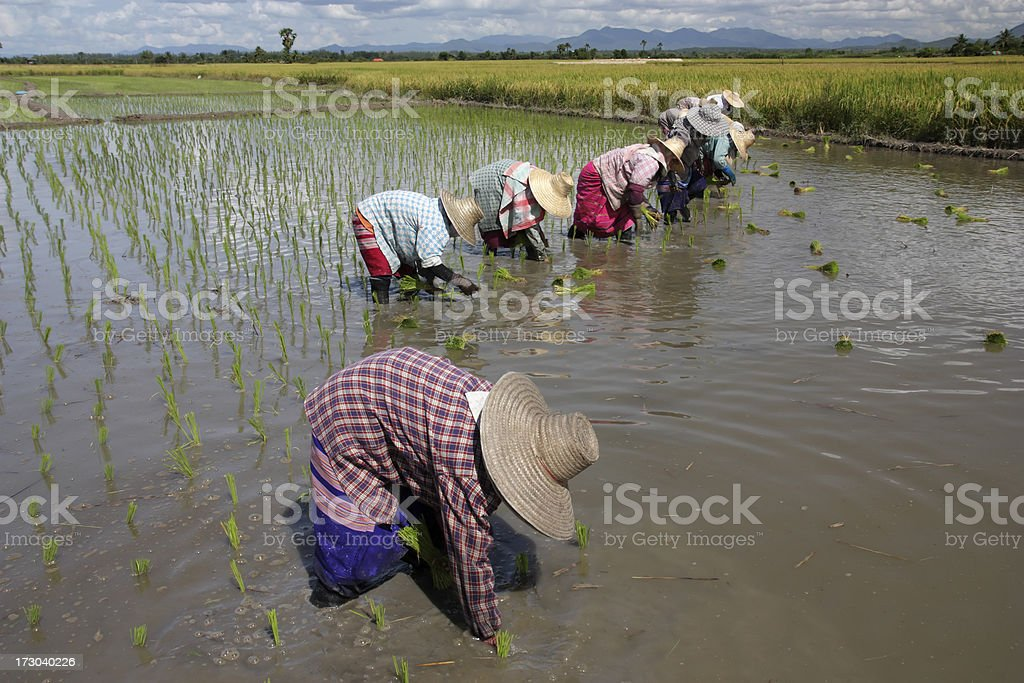 Rice sprouts transplanting royalty-free stock photo
