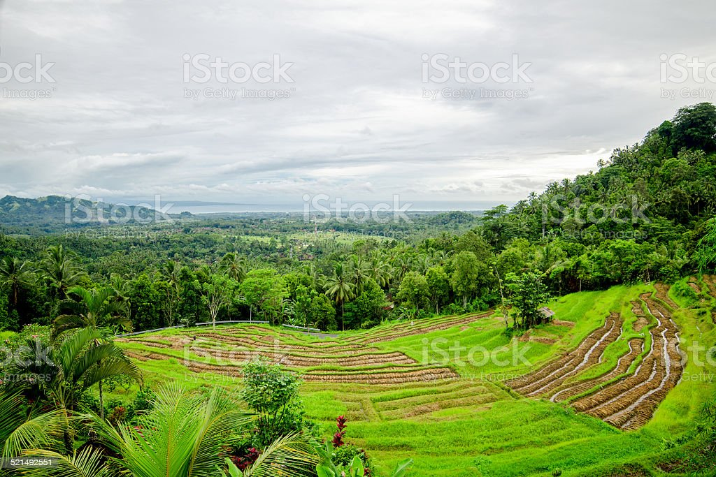 Risaie A Terrazza Bali Indonesia Fotografie Stock E Altre
