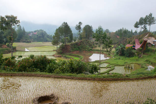 Rice terrace fields and traditional Alang rice barn, Rantepao Rice terrace fields and traditional Alang rice barn, Rantepao, Tana Toraja, South Sulawesi, Indonesia. Alang  houses  have a distinguishing boat-shaped. sulawesi stock pictures, royalty-free photos & images