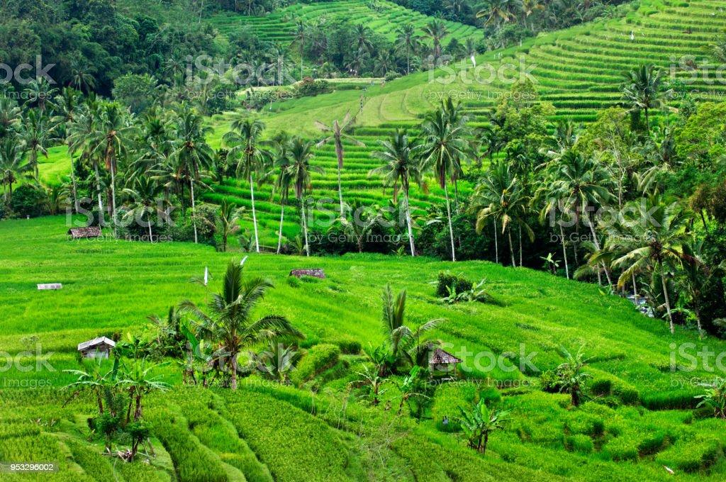 Terraza De Arroz En Bali Indonesia Foto De Stock Y Más Banco
